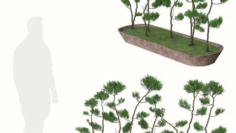 Bonsai Tree Pot (Juniperus chinensis)
