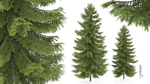 2 pine tree, High and medium height