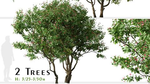Set of Jatropha integerrima Tree (Peregrina) (2 Trees)