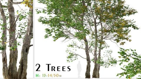 Set of California Sycamore Tree (Platanus racemosa) (2 Trees)
