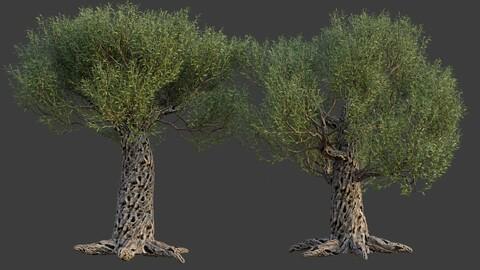 XfrogPlants Olive Tree - Olea Europaea