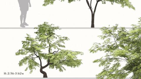 Set of Acer palmatum Tree (Japanese maple) (2 Trees)