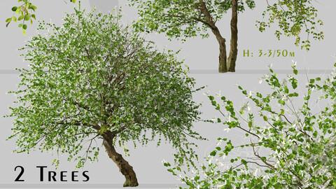 Set of Common Jasmine Tree (Jasminum officinale) (2 Trees)