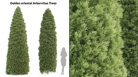 2 Golden oriental arborvitae Trees