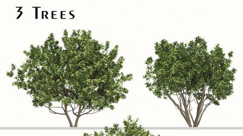 Set of Eriobotrya japonica Tree (Loquat) (3 Trees)
