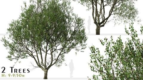 Set of London Plane Tree (Platanus acerifolia) (2 Trees)