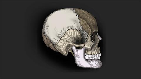 SKULL | Norma Lateralis | Medical Illustration