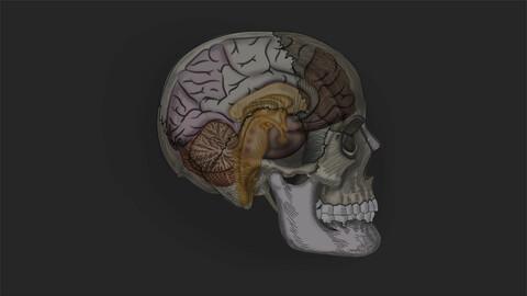 Skull & Brain | Medical Illustration