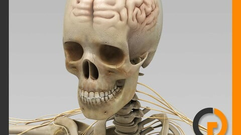 Human Skeleton and Nervous System with Brain - Anatomy