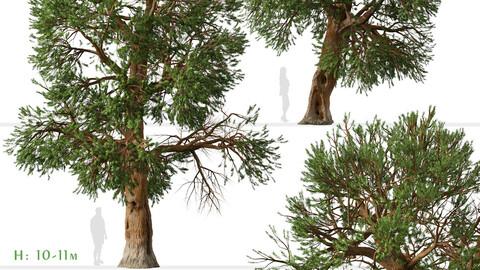 Set of Foxtail pine Tree (Pinus balfouriana) (2 Trees)