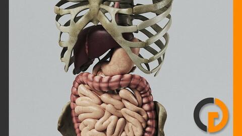 Human Digestive System and Skeleton - Anatomy