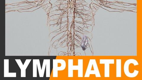 Human Lymphatic System - Anatomy