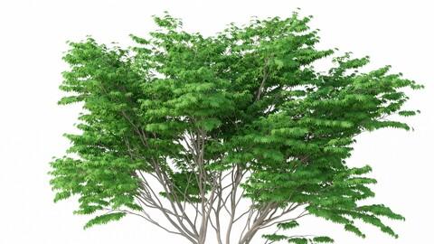 Tree - Acer Palmatum No 2