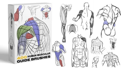HUMAN MUSCLES GUIDE BRUSHES [Study , Practice] [380]