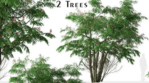 Set of Cassia javanica Tree (Pink shower) (2 Trees)