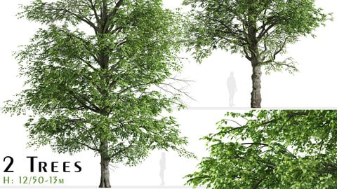 Set of White alder Tree (Alnus rhombifolia) (2 Trees)