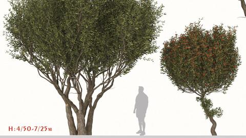 Set of Arbutus unedo Tree (Strawberry tree) (2 Trees)