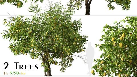 Set of Lemon Tree (Citrus limon) (2 Trees)