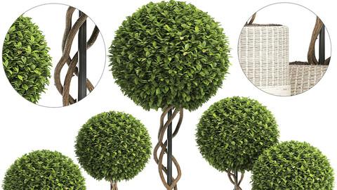 Wicker Woven Tree Topiary - Indoor Plant 222