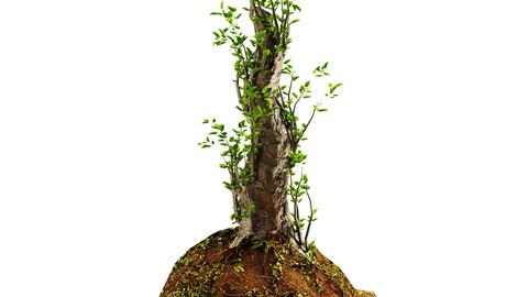 shrub 01