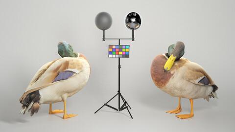 Duck 16