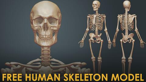 Free Male Human Skeleton