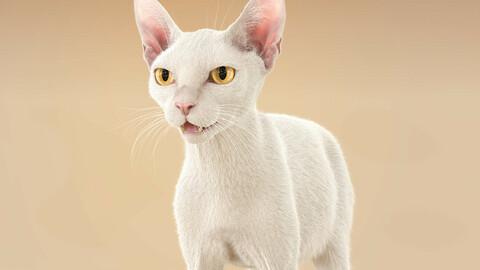 Cat White Fur Shorthair XGen Core