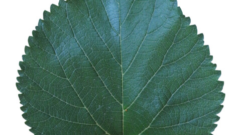 7 PBR texture of berry leaf