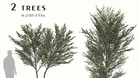 Set of Acacia podalyriifolia Trees (Pearl Acacia) (2 Trees)