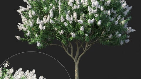 Tree-Crape Myrtle No 2 with white flowers