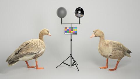 Goose 19