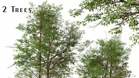 Set of Water Birch Trees (Betula occidentalis) (2 Trees)