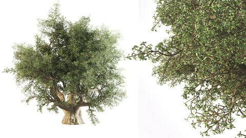 Thick Olive Tree