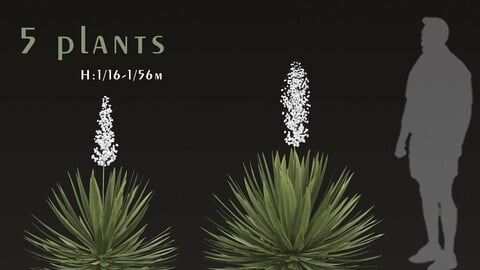 Set of Agave sisalana Plants (Sisal Agave) (5 Plants)