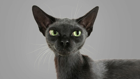 Cat Black Fur Shorthair Rigged XGen Core