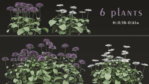 Set of Bellis perennis Flowering Plants (Common daisy) (6 Plants)