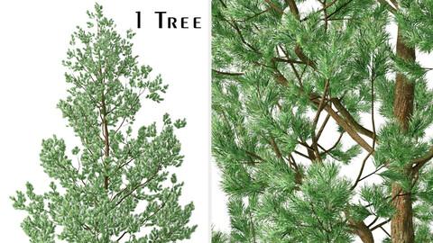 Douglas Fir Tree (Pseudotsuga menziesii) (1 Tree)