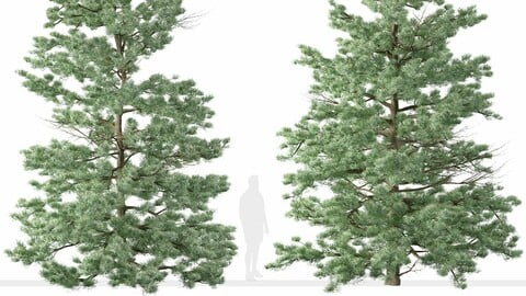 Set of White fir Trees ( Abies concolor ) (2 Trees)