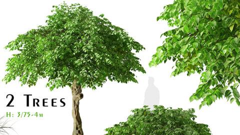 Set of Catalpa bungei Tree (Manchurian catalpa) (2 Trees)