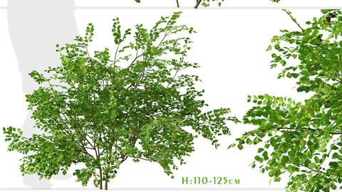 Set of Bramble plants (Rubus fruticosus) (2 Shrubs)