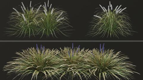 Set of Ophiopogon jaburan Plants (Dwarf lilyturf) (5 Plants)