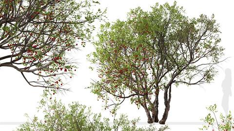 Set of Bitter cherry Tree (Prunus emarginata) (2 Trees)