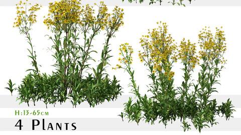 Set of Senecio jacobaea wild flowers (Tansy ragwort) (4 Plants)
