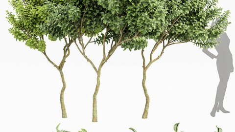 Joy Perfume Orange Michelia Champaca 3 Trees