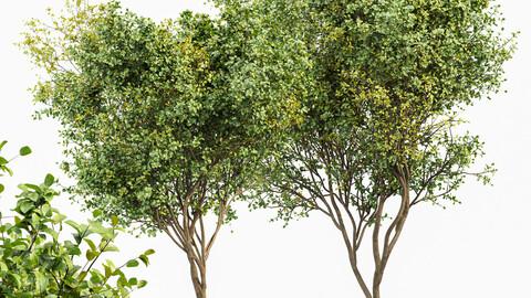 Beautiful 2Trees Bush Leaf
