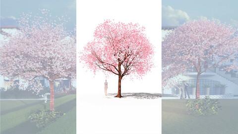 cherry tree flowering prunus avium  b