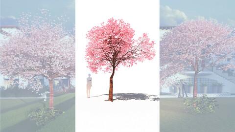 cherry tree flowering prunus avium c