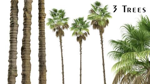 Set of Mexican fan palm Trees (Washingtonia robusta) (3 Trees)