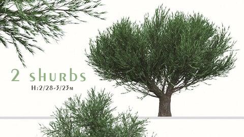 Set of Melaleuca Bracteata Trees (Black tea-tree) (2 Trees)
