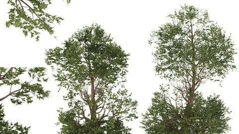 Trident Maple Tree (2 Trees)